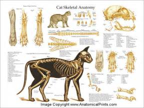 anatomy of a cat cat anatomy thoracic and abdominal organs luonnontieto