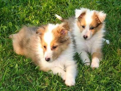 Sheltie Puppies Sheepdog Shetland Puppy Pups Dog