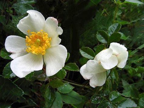 nomi di fiori nomi di fiori rosa la gypsophila una pianta alla
