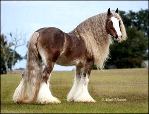 gypsy horse vanner silver horses bay draft stallion bullet pretty cob gorgeous bullets animals yet fever dapple most palomino clydesdale