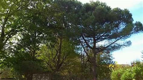 taille pins parasol de branche en branche arboriste grimpeur