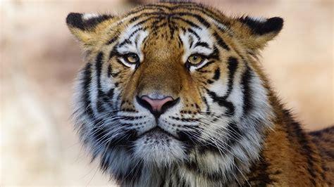 tiger wild animal  nexus samsung galaxy tab