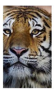 Tiger Wild Animal 4k, HD Animals, 4k Wallpapers, Images ...