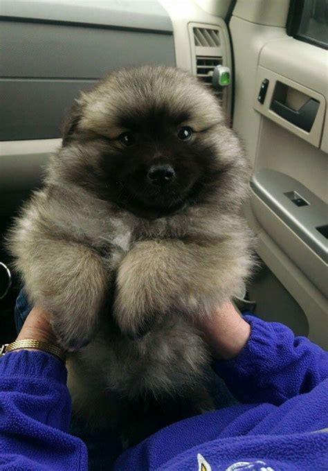 super cute puppies    mistaken  teddy bears