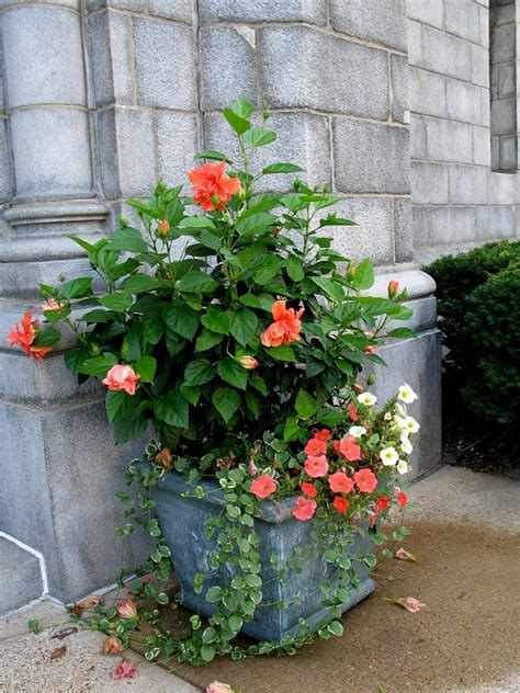 hibiscus container containers gardening plants shrubs trees garden pots flowers plant patio landscaping planting planters balconygardenweb flowering balcony growing indoor