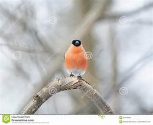 Vogel Mit Roter Brust : bullfinch vogel mit der roten brust die im wald sitzt stockbild bild von nave bullfinch ~ Eleganceandgraceweddings.com Haus und Dekorationen