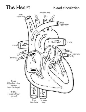 Awesome Anatomy Follow Your Heart  Worksheet Educationcom