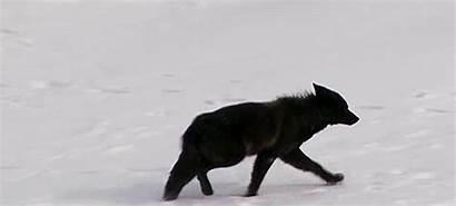 Wolf Raven Snow Dark Ravens Wolves Profile