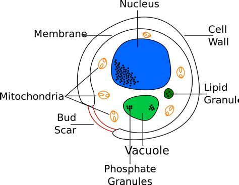 File Yeast Cell English Svg Wikimedia Commons