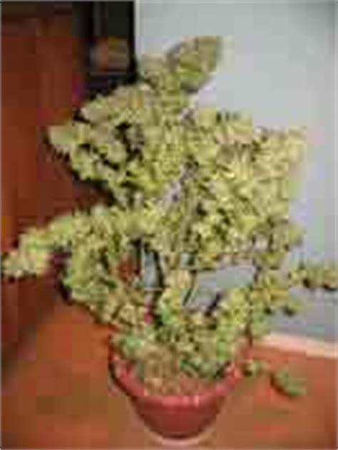 recolte cannabis interieur gramme la culture du cannabis en int 233 rieur