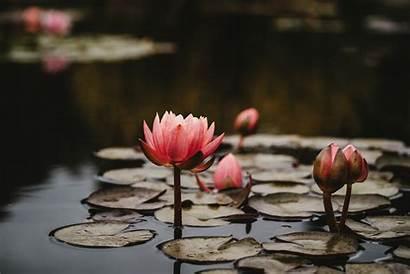 Lotus Nature 4k