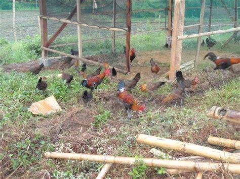"""Philippine Native Chicken """"darag"""""""