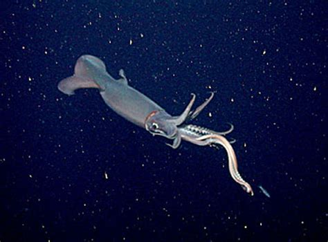 krakens cousin searching   mysterious jumbo