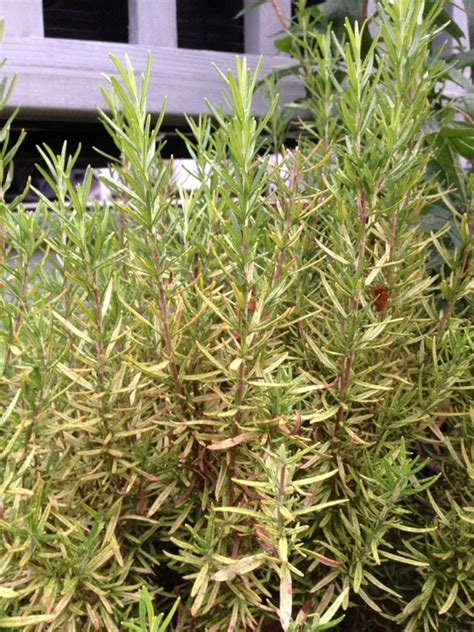 rosemary plant pests insects on rosemary
