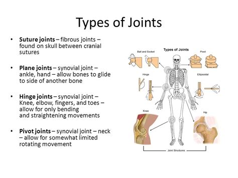 Joints The Area Where Two Bones Are Attached For The