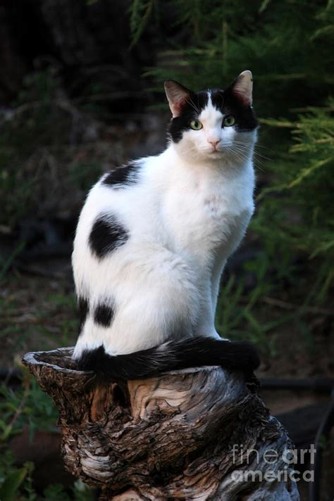 striped duvet black and white cat on tree stump photograph by carol groenen