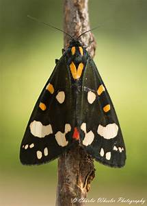 Scarlet Tiger Moth | Fleet and Chesil Reserve