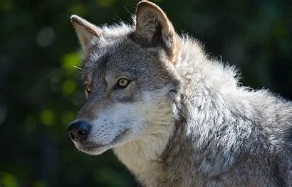 Wisconsin Native Wildlife Wolf Wolves Grey Protecting