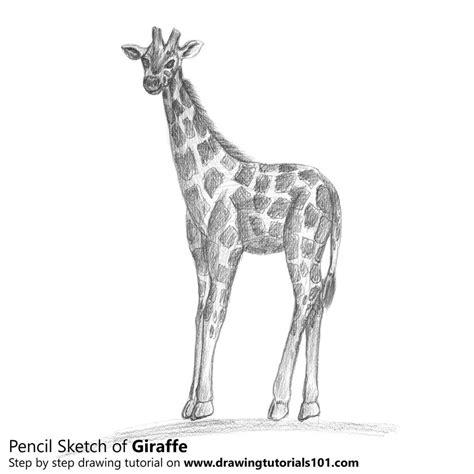 giraffe pencil drawing   sketch giraffe