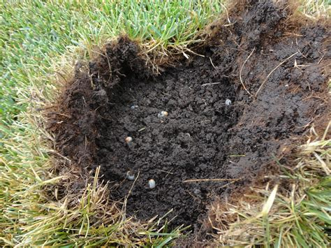 yard grubs photos white grubs can damage your lawn green side up
