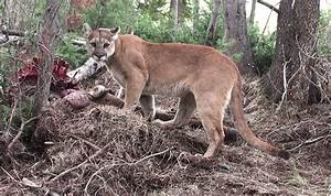 Do Mountain Lions Rival McDonald's? – National Geographic Blog
