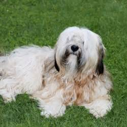 tibetan terrier puppy tibetan terrier breed information