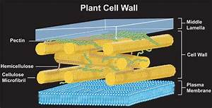 Cell Wall & Membrane | wallyplant