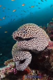 Honeycomb Moray Eels