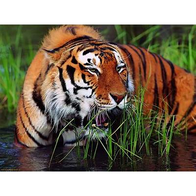 Bengal TigerThe Life of Animals
