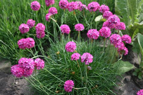 thrift plant purple sea thrift flowers free stock photo public domain pictures