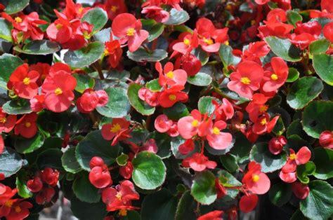 fiori begonie come curare le begonie idee per fiori colorati e
