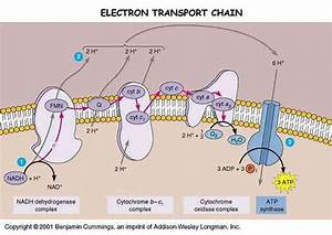 Medicine Newbie  Electron Transport Chain  Etc