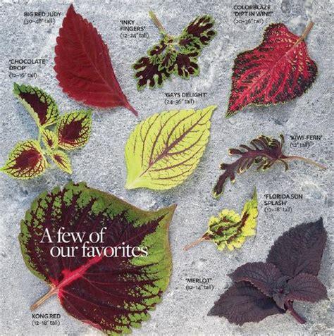 different varieties of coleus garden tips on coleus plants english garden