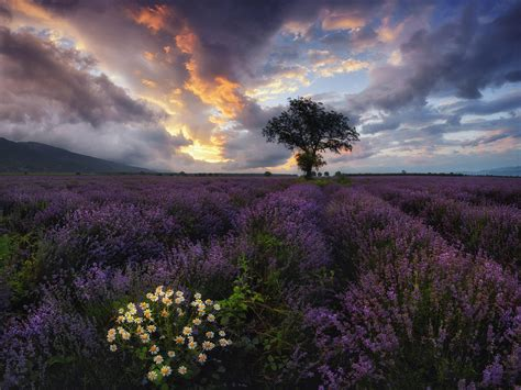 Lavender Field Bulgaria Wallpapers - Wallpaper Cave