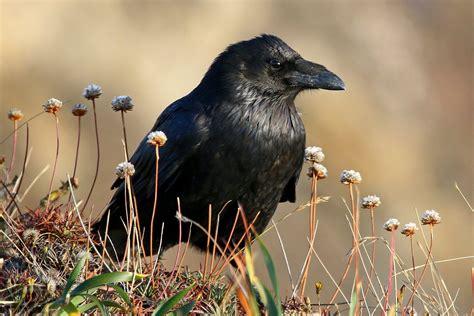 raven  crow learn  identify