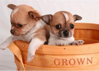 Chihuahua Puppies Basket Dogs Dog Chihuahuas