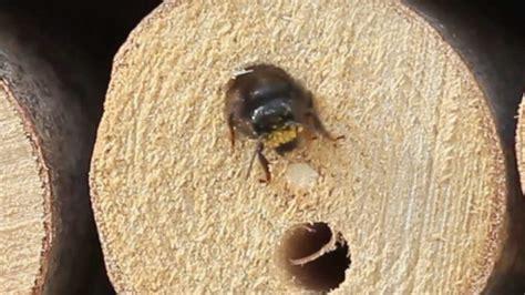 erste gaeste im insektenhotel wildbienen youtube