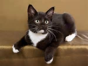 tuxedo cat breed best 25 tuxedo kitten ideas on adorable