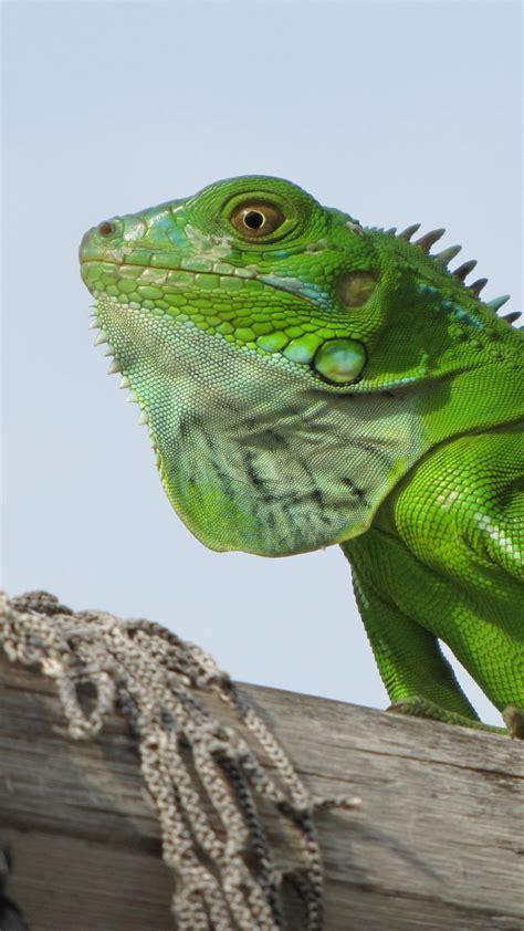 wallpaper iguana green  animals