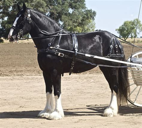 shire horse harness jumping breed foal information history