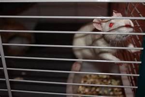 Wie Vertreibt Man Ratten : ratten z chter wie erkennt man einen guten und seri sen ~ Eleganceandgraceweddings.com Haus und Dekorationen