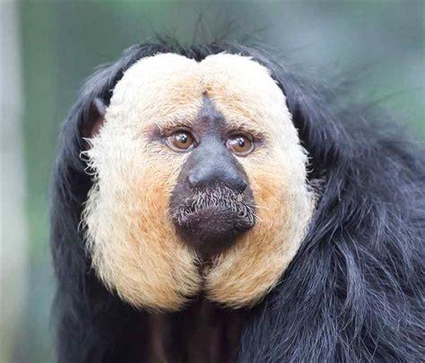 white faced saki monkeys    pale headed sakis