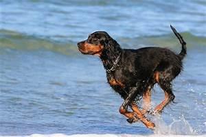Gordon Setter Dogs Breed Information Omlet