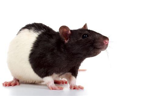 Крысы: фото крыс. Самые умные животные - это крысы.