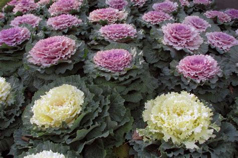 ornamental cabbage perennial ornamental cabbage archives watters garden center