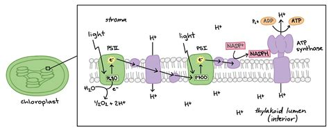 Where In The Chloroplast Do The Light Reactions Occur by How Of Thermodynamic Applied In The Process Of