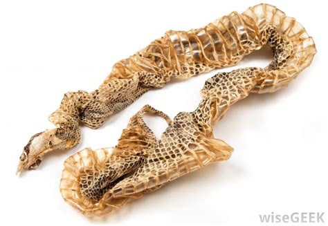 When Do Pythons Shed Their Skin by Why Do Snakes Shed Their Skins With Pictures