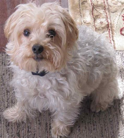 Do Yorkie Poos Shed by Yorkipoo Designer Breed Terrier Poodle Mix