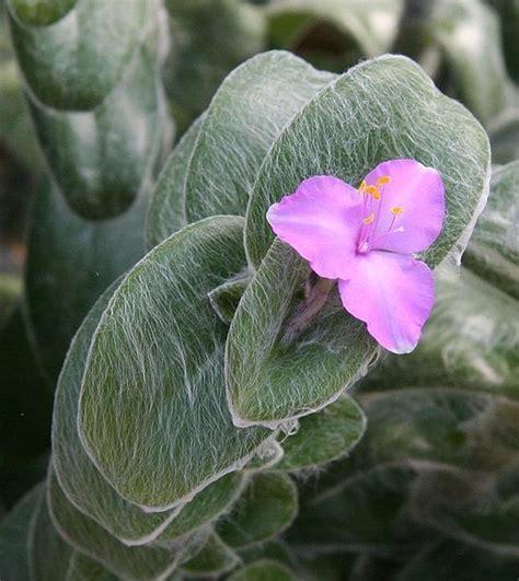 Tradescantia sillamontana, Kitten ears, cobweb spiderwort
