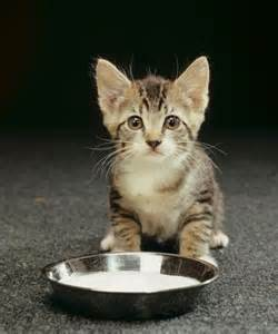 facts about cats and milk